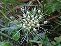 Daucus carota subsp. carota (Apiaceae) - (flowering), Elst (Gld), the Netherlands.jpg