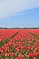 De Cocksdorp tulip fields 3.jpg