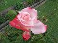 Deine Rose - panoramio.jpg