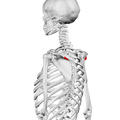 Deltoid tubercle of spine of scapula02.png