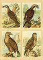 Deutsches Vogelbuch für Forst- und Landwirte - Jäger, Naturfreunde und Vogelliebhaber (1907) (20878644672).jpg