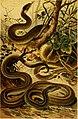 Deutschlands Amphibien und Reptilien. Eine Beschreibung und Schilderung sämmtlicher in Deutschland und den angrenzenden Gebietan vrokommenden Lurche und Kreichthiere (1897) (20267539313).jpg