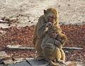 Dhamrai Monkey Family.jpg