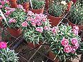Dianthus caryophyllus Colori Joy (p) 2005-12-04.JPG