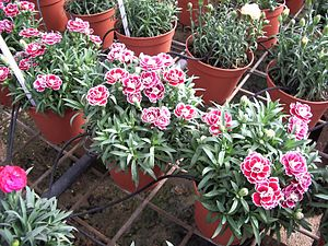 Drip irrigation - Nursery flowers watered with drip irrigation in Israel