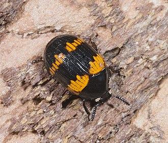 Darkling beetle - Image: Diaperis boleti MHNT Fronton