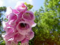 Digitalis-stora hultrum.sweden-40.jpg