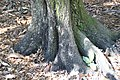 Diospyros blancoi 5zz.jpg