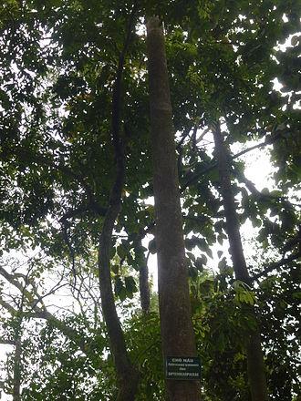 Dipterocarpus retusus - Dipterocarpus retusus in Vietnam