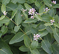 Dogbane Apocynum androsaemifolium Rock Creek.jpg