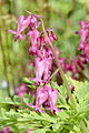 Dolly Sods (Dicentra Exima) Fringed Bleeding Heart.jpg