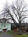 Dolní Staňkov, strom 1928 (b).jpg