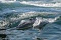 Dolphins near Khasab, Oman - panoramio.jpg