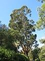 Domaine du Rayol - Eucalyptus globulus.jpg