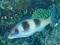 Doublebar goatfish (Parupeneus crassilabris) (43757739441).jpg