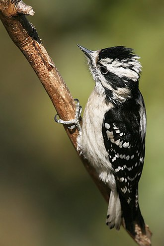 Downy woodpecker - The female lacks the red patch on the back of the head