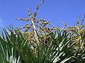Dracaena draco (Puntagorda) 17 ies.jpg