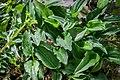 Drimiopsis botryoides in Botanischer Garten Muenster.jpg
