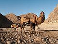 Dromedary Camel (5300863924).jpg