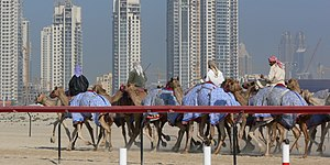 Camel racing - Camel racing in Dubai