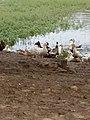 Duck 6.jpg