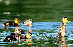 Ducklings playing.