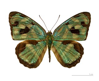<i>Dynamine</i> Genus of brush-footed butterflies