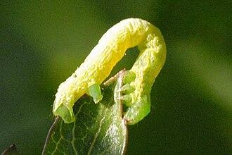 Common marbled carpet - Caterpillar