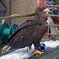 Eagle (3264062532).jpg