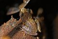 Eastern Cuba Grass Frog (Eleutherodactylus feichtingeri) (8572426808).jpg