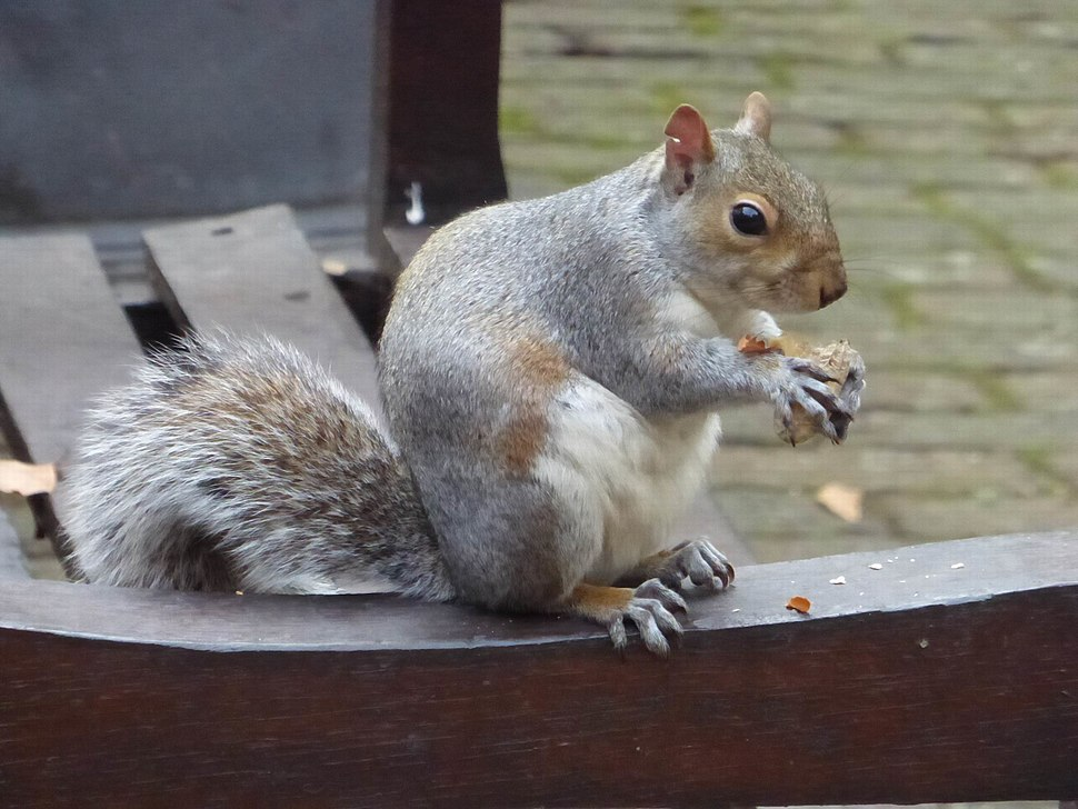 Eastern Grey Squirrel in Bunhill Fields