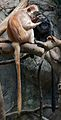 Ebony Langur Javan Lutung Trachypithecus auratus at Bronx Zoo 1 cropped.jpg