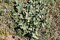 Ecballium elaterium-Concombre d'âne-20150816.jpg