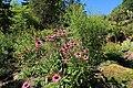 Echinacea purpurea-IMG 5676.jpg