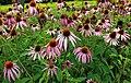 Echinacea purpurea (15101533286).jpg