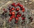 Echinocereus triglochidiatus 16.jpg