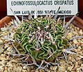 Echinofossulocactus crispatus 1.jpg