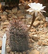 Echinopsis leucantha 01.jpg