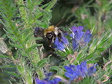 Echium-vulgare-bumblebee-0b.jpg