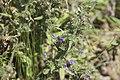 Echium vulgare-4358.jpg