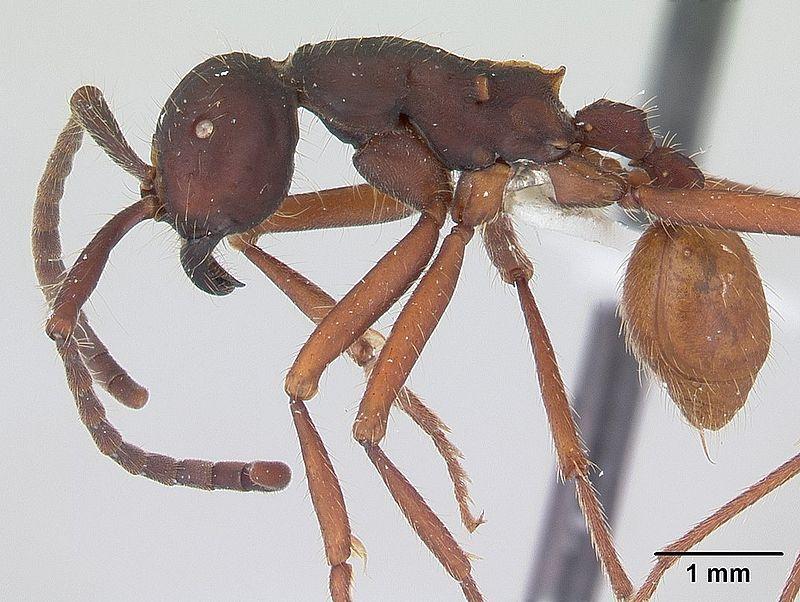 fourmi légionnaire