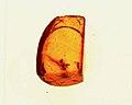Ectatomma gracile ANTWEB1008982 amber specimen.jpg