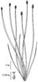Eleocharis compressa NRCS-1.png