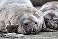 Elephant Seal Pups on South Georgia Island.jpg