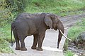 Elephant with a Drinking Problem (2364829966).jpg