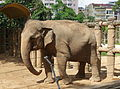 Elephas maximus - Saigon Zoo and Botanical Gardens - Ho Chi Minh City, Vietnam - DSC01321.JPG