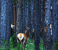 Elk in the Forest (4840883313).jpg