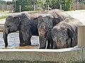Em - Elephas maximus - 12.jpg