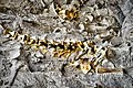 Embedded Fossil Bones at Dinosaur National Monument.jpg