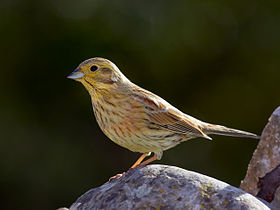 Emberiza cirlus -Valencian Community, Spain -female-8 (1).jpg